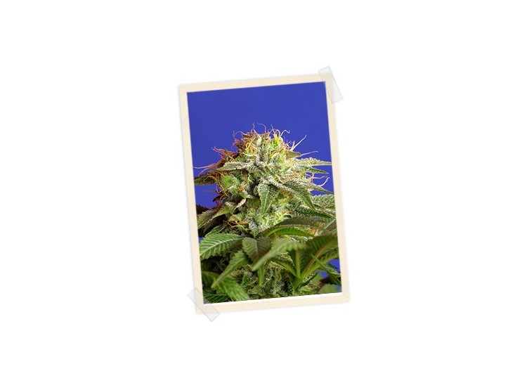 Green Poison 3 Semillas Sweet Seeds para cultivo indoor