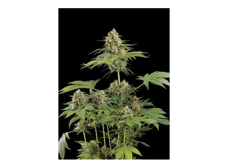 Moby Dick 5 Semillas Black Code Seeds para cultivo indoor