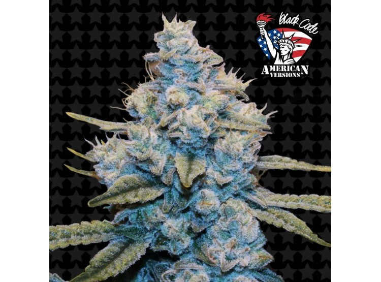 Gorilla Glue N4 5 Semillas Black Code Seeds para cultivo indoor