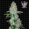 Gorilla Glue N4 Auto 5 Semillas Black Code Seeds para cultivo indoor