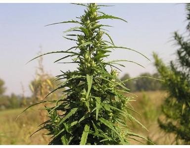 Cannabis Feminizada, Rudelaris y Automática
