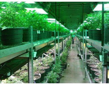 Marihuana de interior